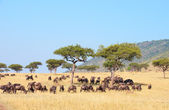Blue wildebeest (Connochaetes taurinus) — Foto Stock