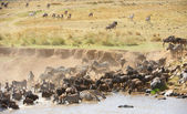 Herd of zebras (African Equids) and Blue Wildebeest (Connochaete — Stock Photo