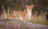 Lion cubs (panthera leo) close-up — Stock Photo