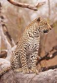 Leopard sitting on the tree — Stock Photo