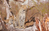 Two Leopards resting on the tree — Stock Photo