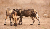 Couple of African Wild Dogs (Lycaon pictus) — Stock Photo