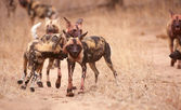 Pack of African Wild Dogs (Lycaon pictus) — Stock Photo