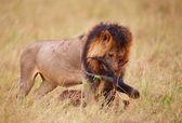 Single Lion (panthera leo) with a kill in savannah — Stock Photo