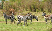 Herd of zebras (African Equids) — Stockfoto