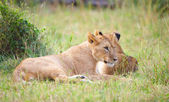 Two Lion cubs (panthera leo) in savannah — Stock Photo