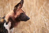 African Wild Dog (Lycaon pictus) — Foto Stock