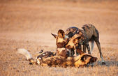 African Wild Dogs (Lycaon pictus) — Stock Photo