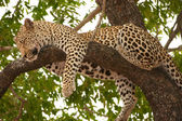 Leopard sleeping on the tree — Stock Photo