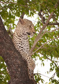 Leopard lying on the tree — Stock Photo