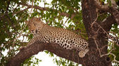 Leopard (Panthera pardus) lying on the tree — Stock Photo
