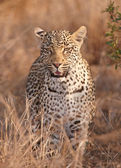 Leopard standing in savannah — Stock Photo