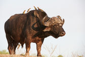 Buffalo (Syncerus caffer) in the wild — Stock Photo