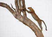 Leopard jumping on the tree — Stock Photo