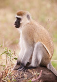 Black-faced vervet monkey in South Africa — Stock Photo