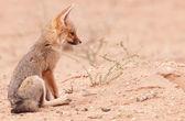 Alert Black-backed Jackal (Canis mesomelas) — Stock Photo