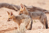 Alert Black-backed Jackal (Canis mesomelas) — Stock Photo