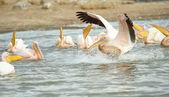 Eastern White Pelican (Pelecanus onocrotalus) — Stock Photo