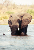 大非洲大象公牛 — 图库照片