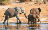Large herd of African elephants — Stock Photo