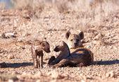 Spotted hyaena (Crocuta crocuta) — 图库照片