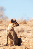 Spotted hyaena (Crocuta crocuta) — Stock Photo