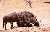 Herd of Blue wildebeest (Connochaetes taurinus) — Stock Photo