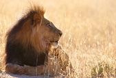 Lion (panthera leo) in savannah — Stock Photo