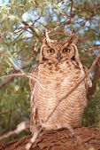 Spotted Eagle Owl (Bubo Africanus) — Stock Photo