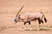 Single Gemsbok (Oryx Gazella) — Stock Photo