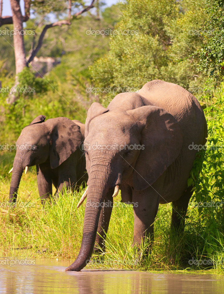 Two elephants walking to the water in savanna in the nature reserve in South Africa — Stock Photo #6940914