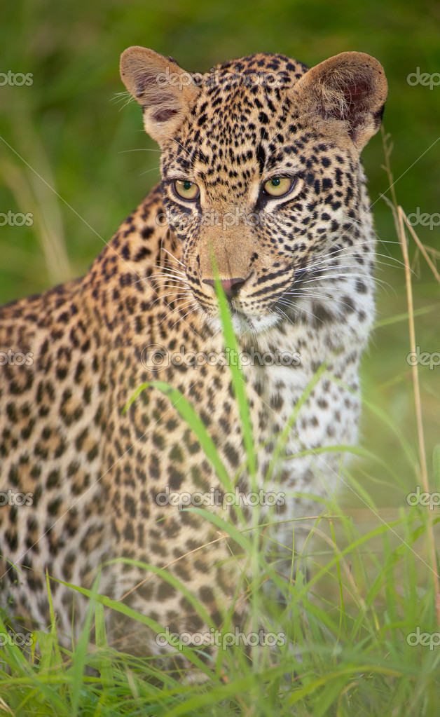 Leopard (Panthera pardus) resting in savanna in nature reserve in South Africa — Stock Photo #6940924