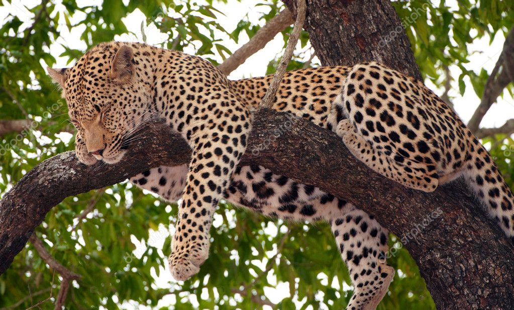 Leopard (Panthera pardus) sleeping on the tree in nature reserve in South Africa — Stock Photo #6949000