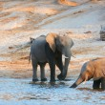 Large herd of African elephants — Stock Photo #6951416