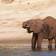 Large African elephant - Stock Photo