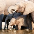 Large herd of African elephants — Stock Photo