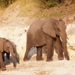 Large herd of African elephants - Stock Photo