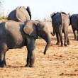 Large herd of African elephants — Stock Photo #6951452