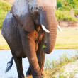 Stock Photo: Large African elephant bull