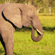 Large elephant bull - Stock Photo