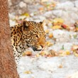 Leopard standing behind the tree - Stock Photo