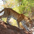 Leopard standing on the tree - Stock Photo