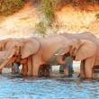 Stock Photo: Large herd of Africelephants