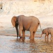 Herd of African elephants - Stock Photo