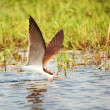 African Skimmer (Rynchops flavirostris) - Stock Photo