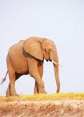 Large African elephant bull — Stock Photo