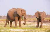 Large African elephants — Stock Photo