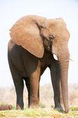 Große afrikanische elefant stier — Stockfoto