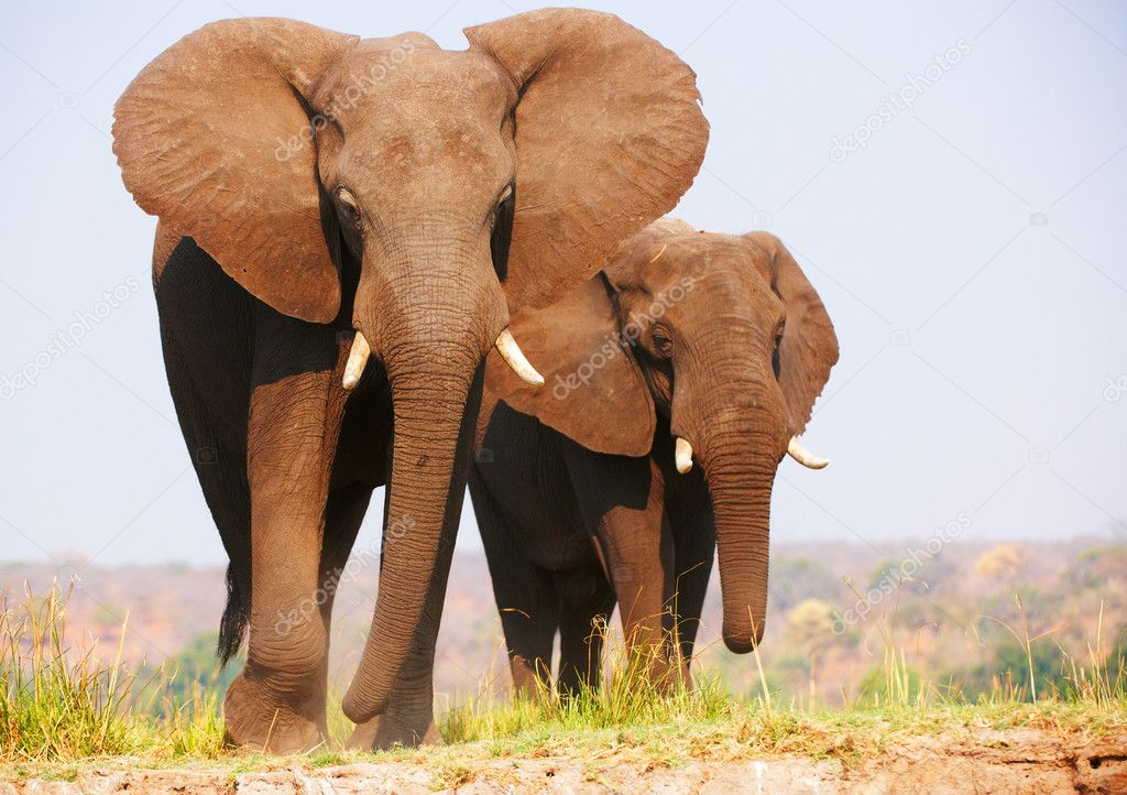 Herd of African elephants (Loxodonta Africana) standing in savannah in Botswana — Stock Photo #6951491