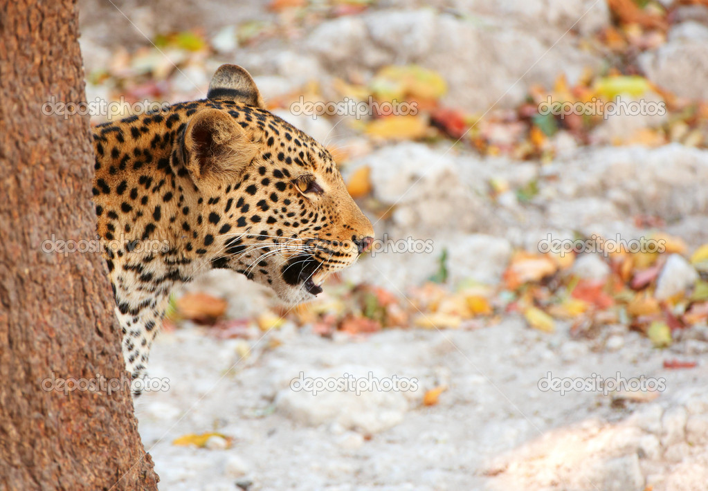 Leopard (Panthera pardus) hunting in nature reserve in Botswana — Stock fotografie #6951511